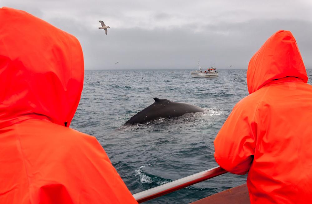 Osservazione delle Balene in Islanda - Ring Road in Islanda