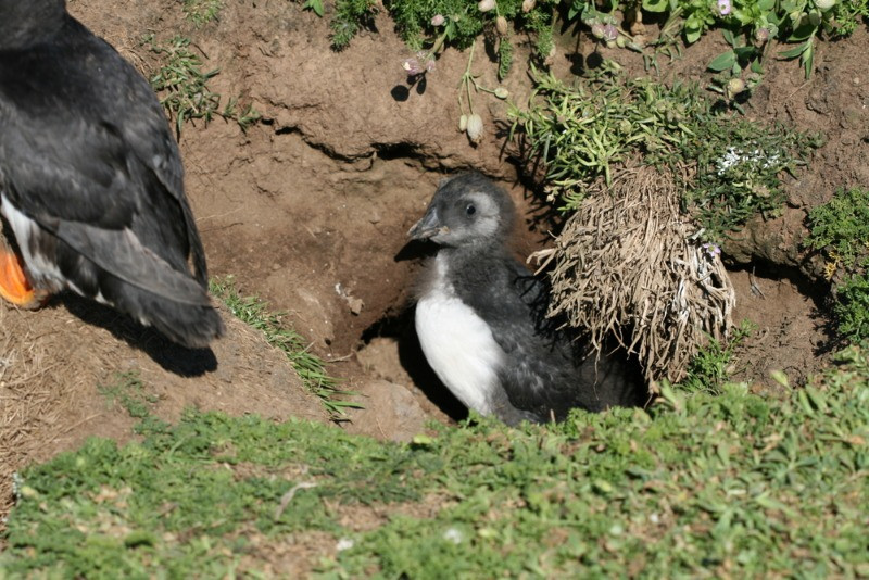baby puffin coming out of its nest