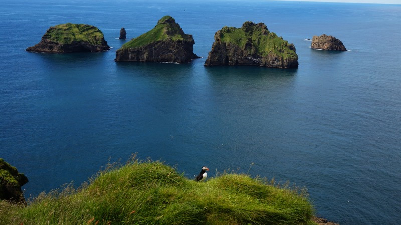 Westman islands cliff with puffin birds nesting