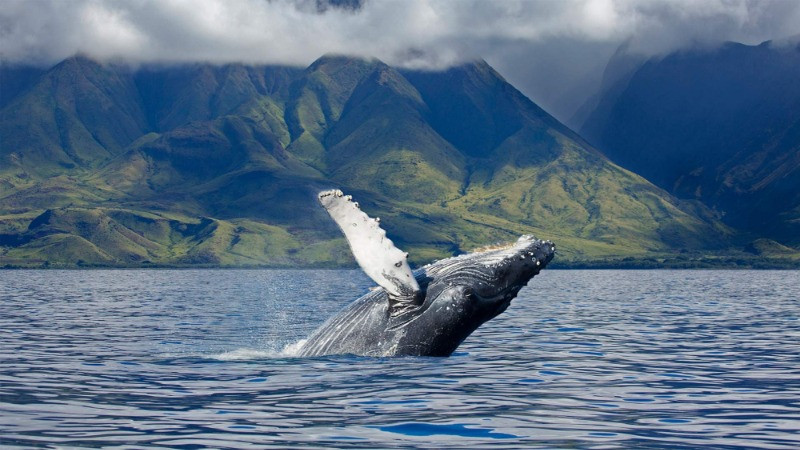 humpback whale jumping in the fjords of Iceland
