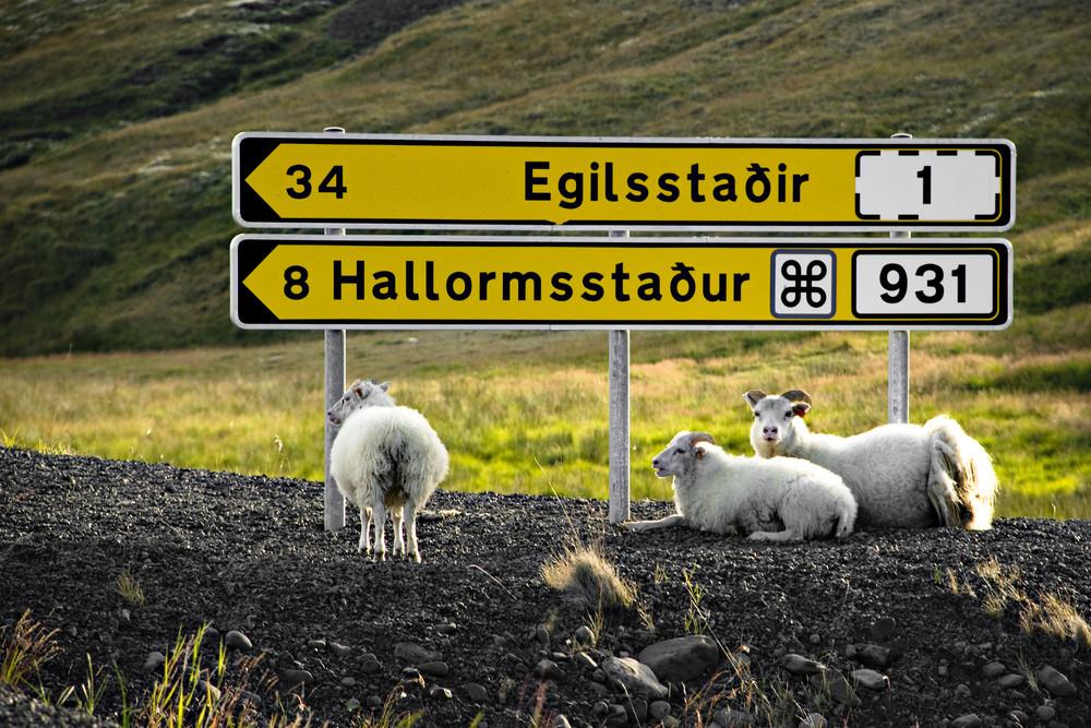 pecori su strada con ghiaia in Islanda