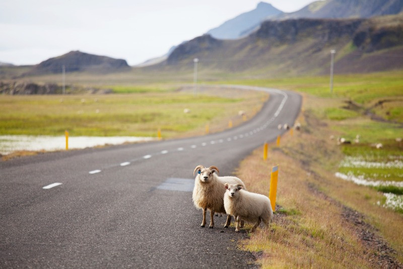 Car insurance in Iceland do not cover hitting animals like the sheep in the picture standing by the road