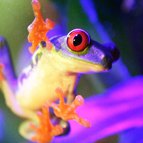 #306 - Red-Eyed Tree Frog