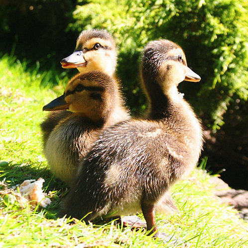 #314 - Little Ducklings