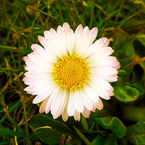 #228 - Daisy