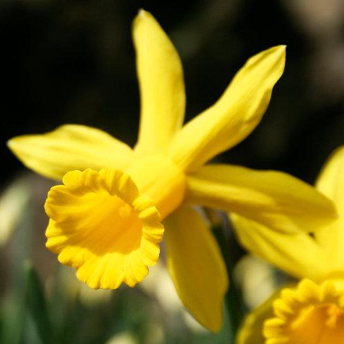 #222 - Daffodil
