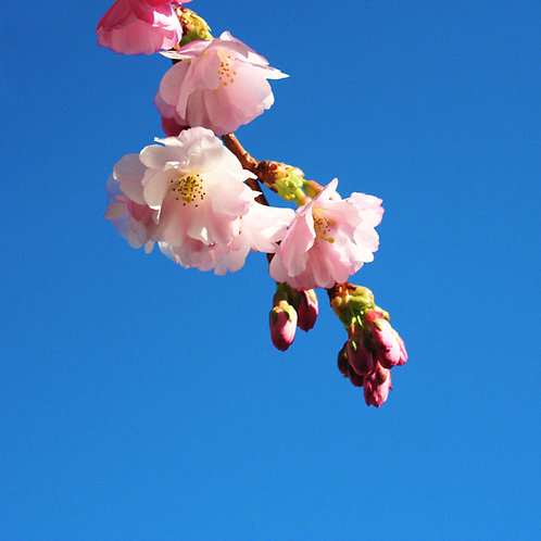 #288 - Cherry Blossoms #2