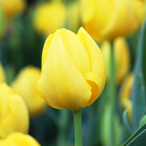 #319 - Yellow Tulip