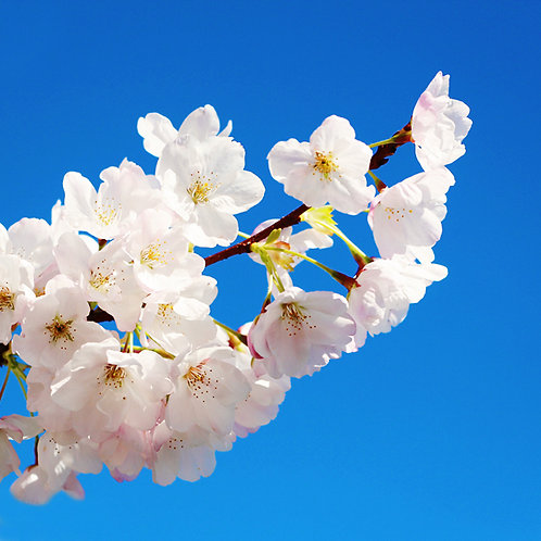 #337 - Cherry Blossoms #3
