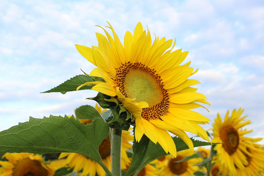 sunflower-450231_1920.jpg