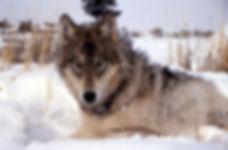 wolfz.jpg
