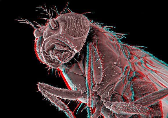 Fruitfly 4 Foamex Print 3D