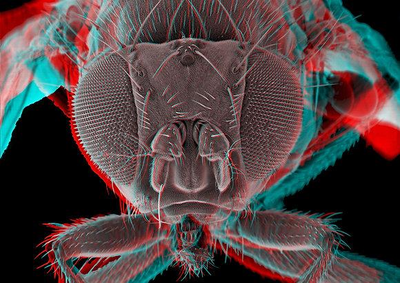 Fruitfly 5 Foamex Print 3D