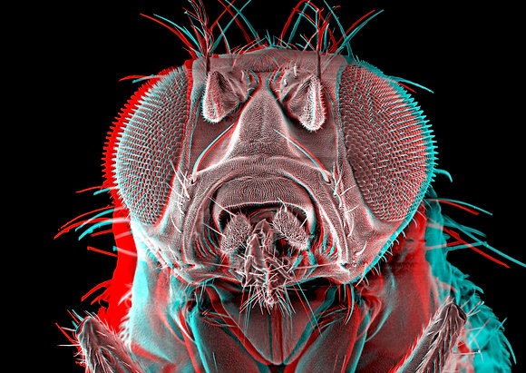 Fruitfly 3 Foamex Print 3D