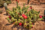 cactus flower red (1 of 1).jpg