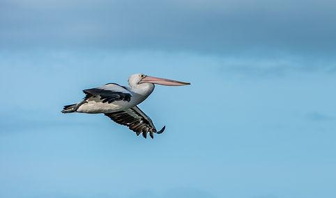Pelican Kangaroo Island Kingscott  (1 of