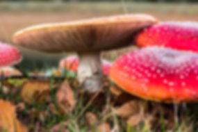 Poison Red Mushroomswhite spots Fly Agaric Amanita muscaria