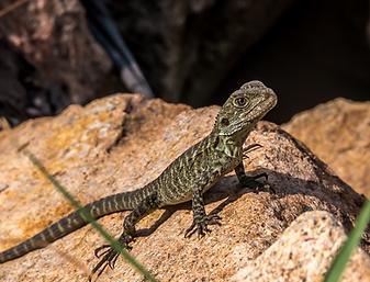 water dragon lizard juvenile east gippsland victoria australia