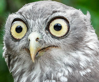 barking owl eyes