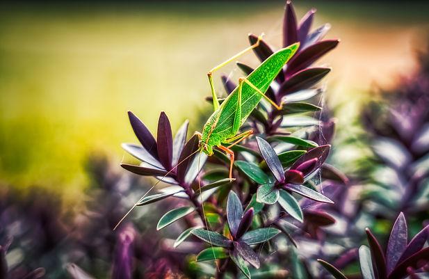 grasshopper (1 of 1).jpg
