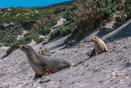 Kangaroo Island seal bay (1 of 1).jpg
