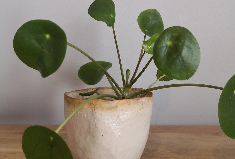 Pot émaillé blanc et pilea (II)
