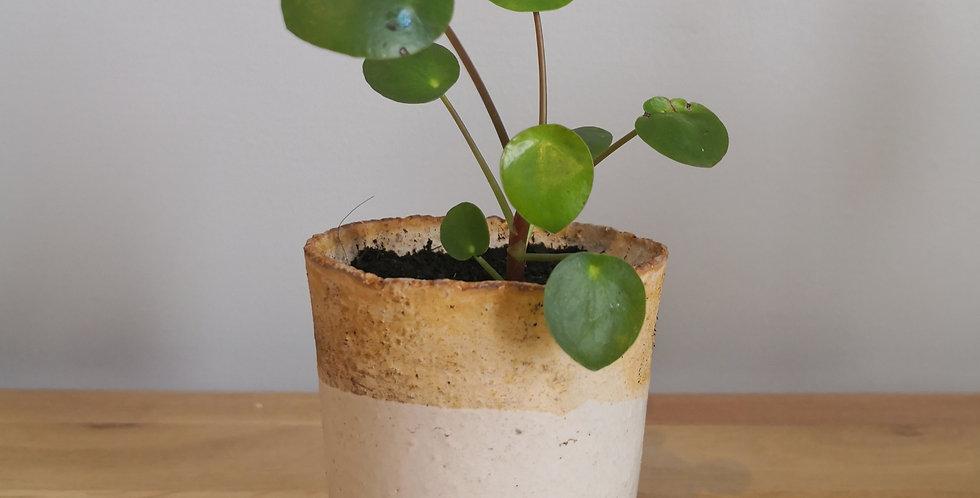 Pot émaillé blanc et pilea (III)