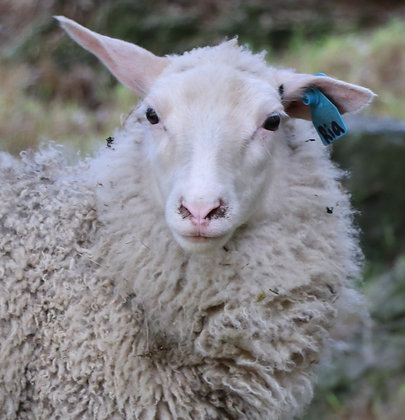 Finn and Gotland Sheep - Full of Character! From $100