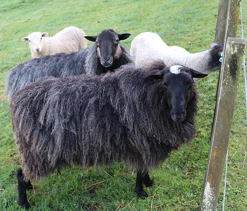 Swedish Gotland Pelt and Finnish Landrace Sheep