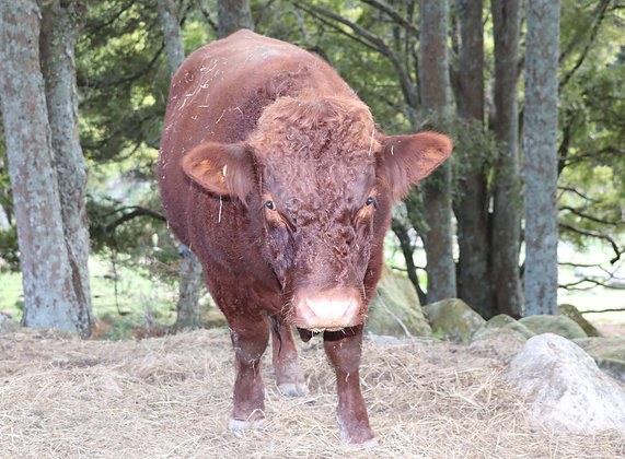 Genesis - Our Red Devon Bull - Available for Lease