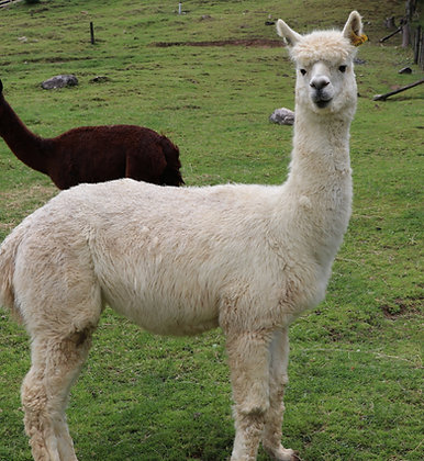 Alpacas for Pets and Breeding - From $100