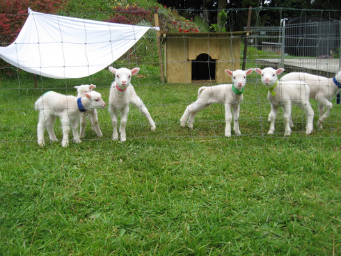 2018 Finn lambs -Goldie  Alex  Lila  Clo
