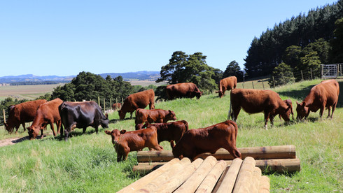 Red Devon and Jersey Cattle January  201