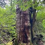 大和杉.jpg