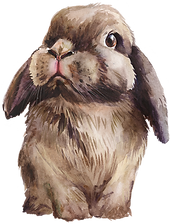 Chocolate Holland Lop-front view head co