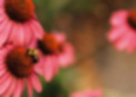 Coneflowers Echinacea