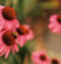 Bee landing on Echinacea Coneflowers