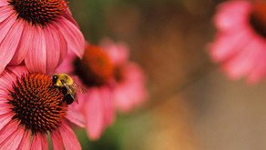 Bee Friendly Perennials