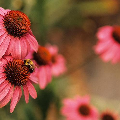 Echinacea Angustifolia Tincture 2 oz