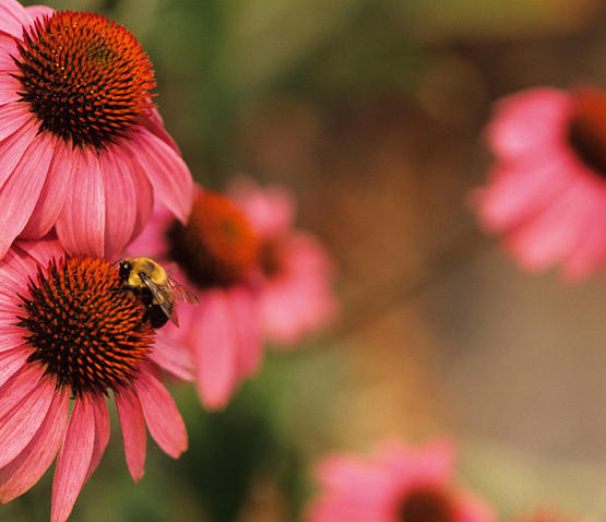 FLOWERS FOR POLLINATORS