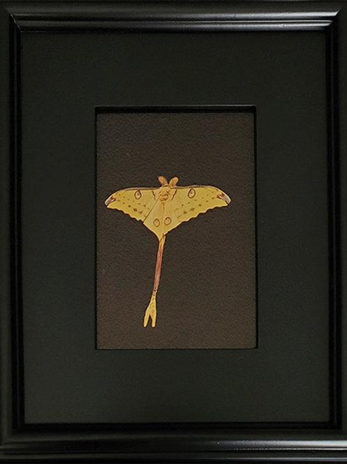 Gilded Light- Madagascar Comet Moth