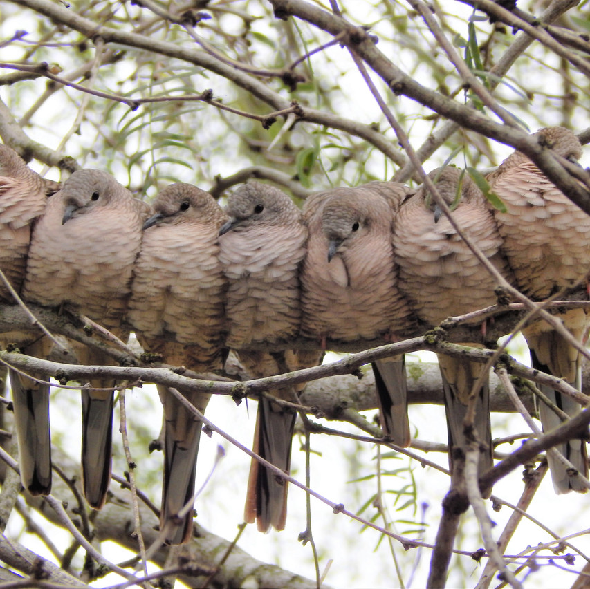 """""""Brothers"""" - Inca Doves"""