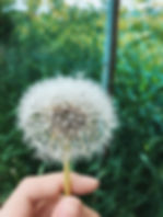 Bloom Blossom Dandelion