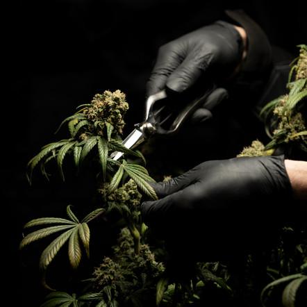 India's Hidden Gems: The Cannabis and Hemp Industries