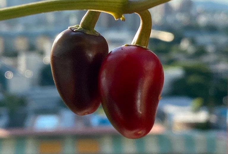 Purple Jalapeño, 15 seeds