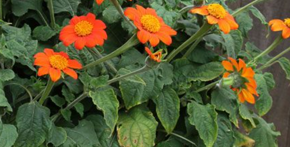 Red Mexican Torch Sunflower, 15 seeds