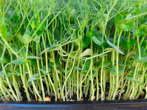 Microgreens (A must for urban gardeners!)