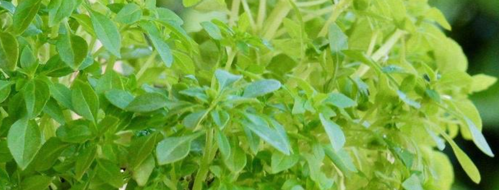 Greek Basil, 30 seeds