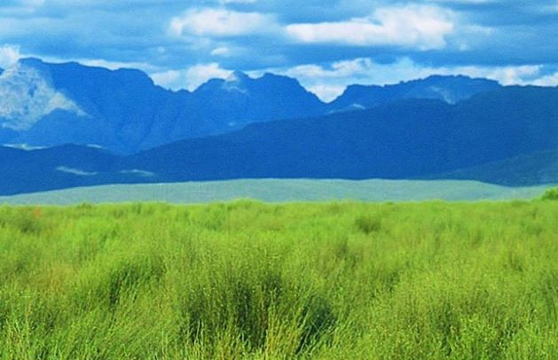 rooibos field in south africa