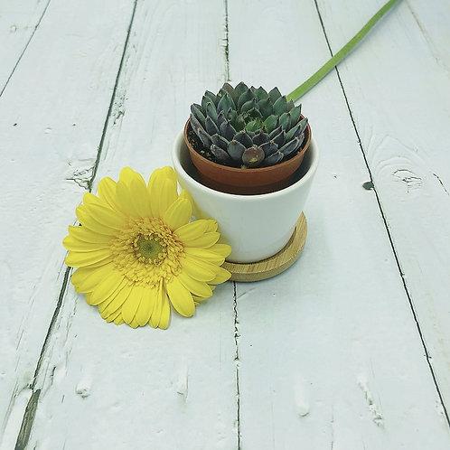Echeveria Scorpio (living succulent)